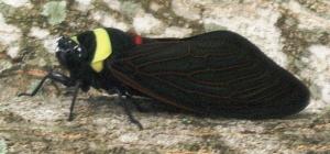 source: http://www.whatsthatbug.com/2010/03/22/cicada-from-malaysia-tacua-speciosa/