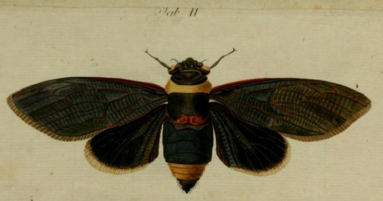 Tacua speciosa (Illiger, 1800)