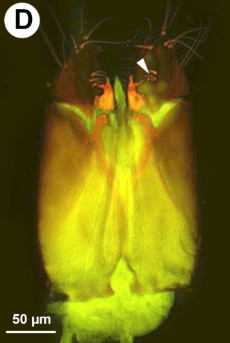 the male genitalia of this wasp species are large and unusual